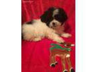 View Ad Shih Poo Puppy For Sale New York Rochester Usa