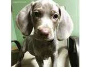 View Ad Weimaraner Puppy For Sale Pennsylvania Clarion Usa