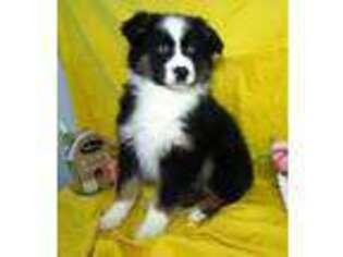 Australian Shepherd Puppy for sale in New Castle, IN, USA