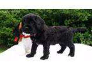 View Ad: Cavapoo Puppy for Sale near Alabama, Mobile, USA