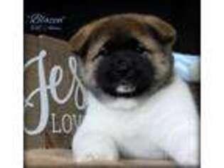 Akita Puppy for sale in Chillicothe, MO, USA