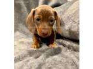 Dachshund Puppy for sale in Cedar Rapids, IA, USA