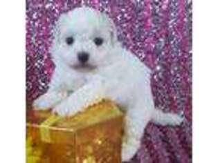 Puppyfinder com: Bichon Frise puppies puppies for sale near