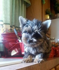 View Ad Yorkshire Terrier Puppy For Sale Texas Austin Usa