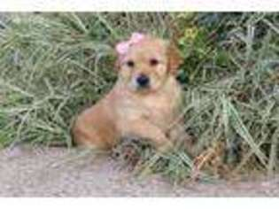 Golden Retriever Puppy for sale in Wakarusa, IN, USA