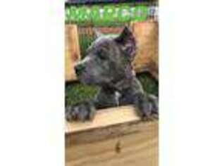 Cane Corso Puppy for sale in Vero Beach, FL, USA