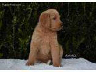 Labradoodle Puppy for sale in White Oak, GA, USA