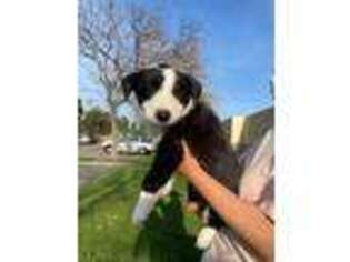 Border Collie Puppy for sale in Fontana, CA, USA