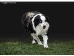 Australian Shepherd Puppy for sale in Spokane, WA, USA