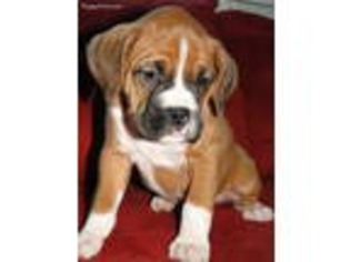 View Ad: Boxer Puppy for Sale near California, Victorville