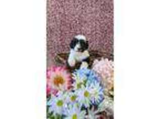 Border Collie Puppy for sale in Hadley, PA, USA
