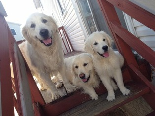View Ad Golden Retriever Puppy For Sale New York Staten Island Usa