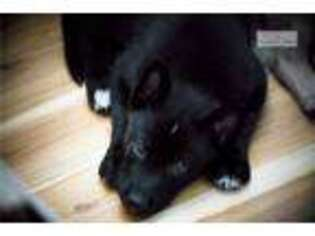 Wolf Hybrid Puppy for sale in Fayetteville, AR, USA