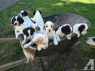 English Setter Puppy for sale in CLE ELUM, WA, USA