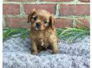 Cavalier King Charles Spaniel Puppy for sale in Lititz, PA, USA