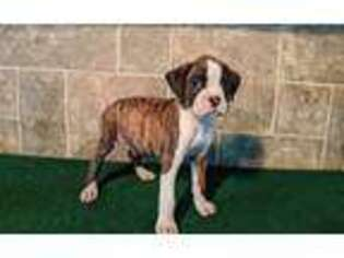 Boxer Puppy for sale in Lebanon, MO, USA