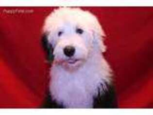 Puppyfinder com: Old English Sheepdog puppies puppies for sale and