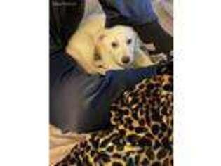 German Shepherd Dog Puppy for sale in Grundy, VA, USA