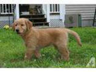 View Ad Golden Retriever Puppy For Sale Connecticut Danbury Usa