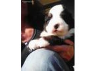 View Ad Bernese Mountain Dog Puppy For Sale Kentucky