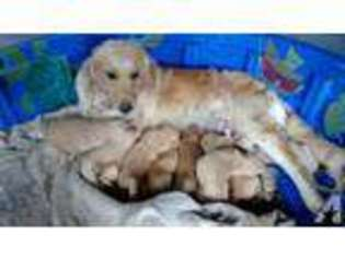View Ad Golden Retriever Puppy For Sale Massachusetts Athol Usa
