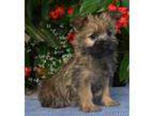 Cairn Terrier Puppy for sale in Fredericksburg, OH, USA