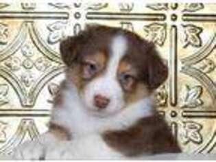 Australian Shepherd Puppy for sale in Beach City, OH, USA