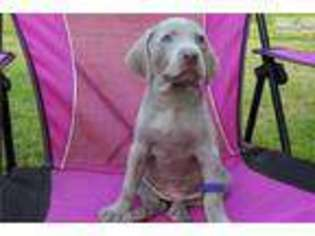 View Ad Weimaraner Puppy For Sale Alabama Birmingham Usa