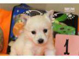 Alaskan Klee Kai Puppy for sale in Omaha, NE, USA