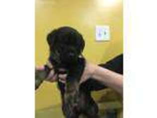 View Ad Rottweiler Puppy For Sale New York Port Jervis Usa