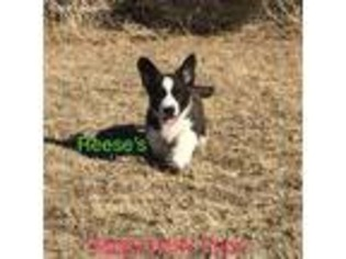 View Ad Cardigan Welsh Corgi Puppy For Sale Oklahoma Erick Usa