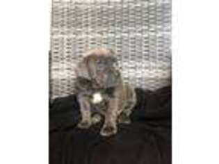 Cane Corso Puppy for sale in New Holland, PA, USA