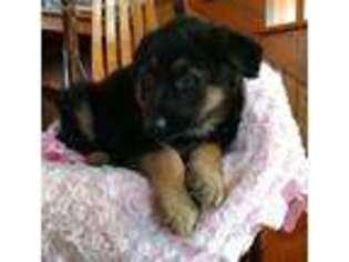 German Shepherd Dog Puppy for sale in Lovington, IL, USA
