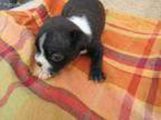 View Ad Boston Terrier Puppy For Sale Michigan Kalamazoo Usa
