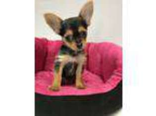 Chorkie Puppy For Sale in Long Grove, IL, USA