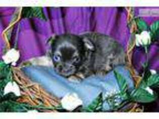 Puppyfindercom Chihuahua Puppies For Sale Near Me In Fort Smith