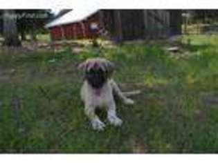 Puppyfinder com: Anatolian Shepherd puppies puppies for sale