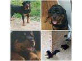 View Ad Rottweiler Puppy For Sale Maryland Upper Marlboro Usa