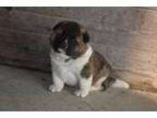 Akita Puppy for sale in New Holland, PA, USA