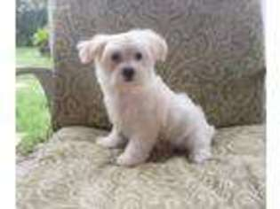 View Ad Maltese Puppy For Sale Texas Whitesboro Usa