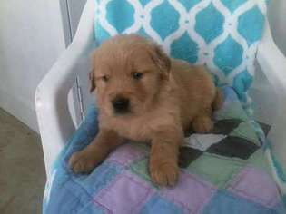 View Ad: Golden Retriever Puppy for Sale, Connecticut, Norwalk, USA