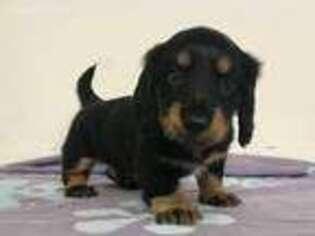 Puppyfinder com: Dachshund puppies puppies for sale and