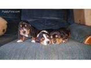 View Ad Basset Hound Puppy For Sale Ohio Ashland Usa