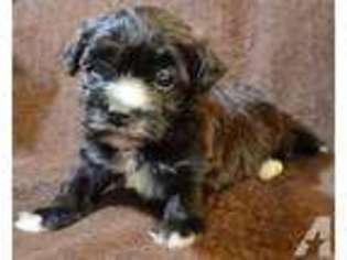 View Ad Havanese Puppy For Sale South Carolina Myrtle Beach Usa