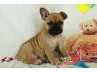 View Ad Olde English Bulldogge Puppy For Sale North Carolina
