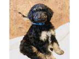 Mutt Puppy for sale in Mahopac, NY, USA