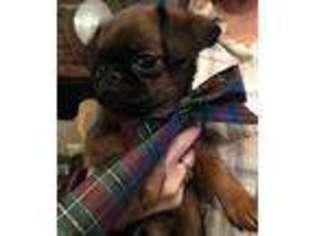 Puppyfinder com: Brussels Griffon puppies for sale near me