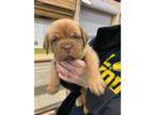 American Bull Dogue De Bordeaux Puppy for sale in Fort Worth, TX, USA