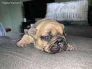 French Bulldog Puppy for sale in Spartanburg, SC, USA