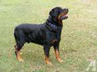 View Ad Rottweiler Puppy For Sale North Carolina Kinston Usa